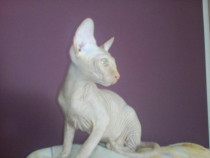 Pui pisica pshynx,(sphinx,sfinx)
