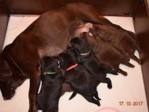 Pui labrador cu pedigree