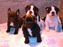 Pui Bulldog Francez pedigree FCI