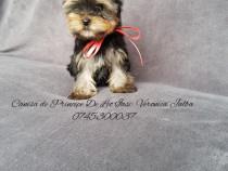Femela yorkshire terrier cu pedigree- CanisaDePrincipeDeLeo