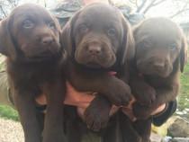 Labrador ciocolatiu!!