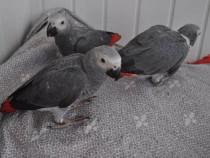 Papagalii gri