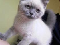 Cel mai frumos motănel British blue point ochi albaștrii