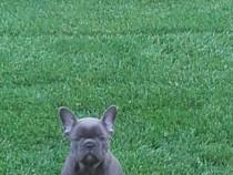 Pui de bulldog-buldog francez pe albastru,gri,blue!!