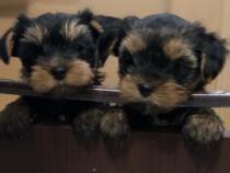Yorkshire terrier, baietel , proprietar