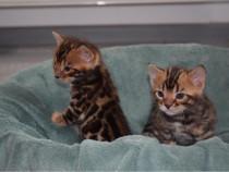 Pisici Bengal