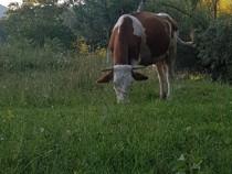 Vaca baltata romaneasca