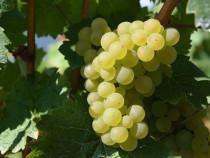 Vin alb si roze - soiuri nobile