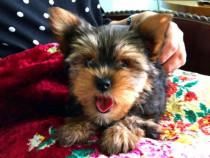 Pui Yorkshire Terrier - BucuriaCasei