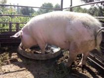Porc pentru sacrificare sau reproducere