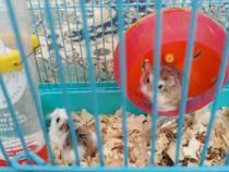 2 hamsteri pitici+cusca si mancare