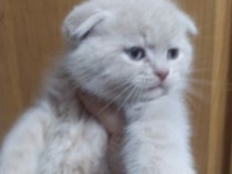 Scottish fold cream!!!