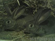 Pereche iepuri
