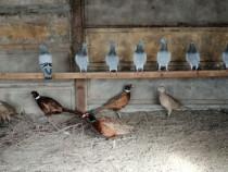 Masculi fazani exotici