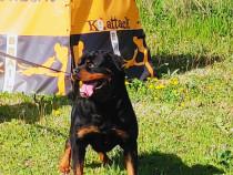 Mascul Rottweiler pentru monta