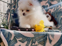 Pomeranian Mini fete și băieți Pomeranian Boo
