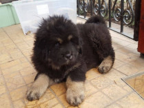 Pui mastiff mastif tibetan
