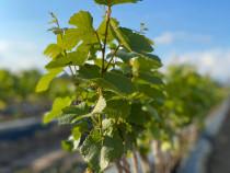 Butasi vita de vie/pomi fructiferi