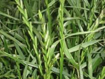 Raigras peren sau lolium perenne seminte certificate 25 kg