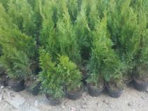 Tuia smaragd 60 -70 cm