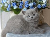 British shorthair blue