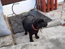 Pui labrador negru