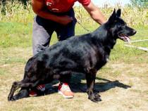 Ciobanesc German (negru,bicolor,lupiu) cu Pedigree