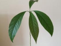 Pomisor avocado 37 cm