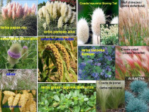 10 seminte iarba decorativa pampas,coada vulpii,grasa etc