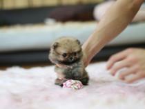 Pomeranian de buzunar talie f mica