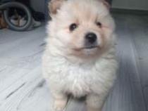 Pomeranian/vulpino