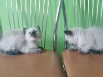 Pisici birmaneze