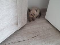 Pisic ragdoll