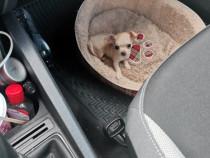 Chihuahua talie mica , fetita 4 luni