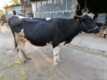 Vaca tânără