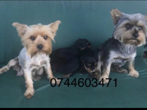 Yorkshire terrier pui