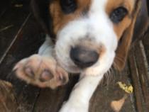 Puiuți Beagle.