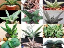 Gasteria Mix -10 plante diferite
