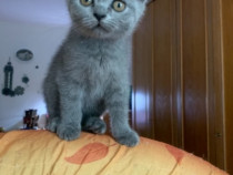 Pui british shorthair blue fetita