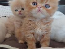 Pui de pisica persana