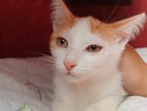 Pui pisica roscat Paco