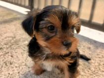 Cățel Yorkshire terrier