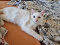 Pui pisica angora