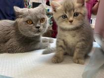 Pisicuța british shorthair