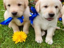 Cățeluși rasa Labrador