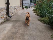 Câine sharpei