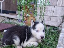Pui Husky Siberian