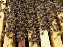 Roiuri albine