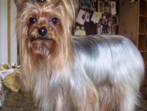 Yorkshire terrier toy,pentru monta