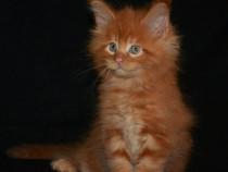 Pisici Maine Coon Bucuresti,Iasi,Oradea,Brasov,Galati ct tm